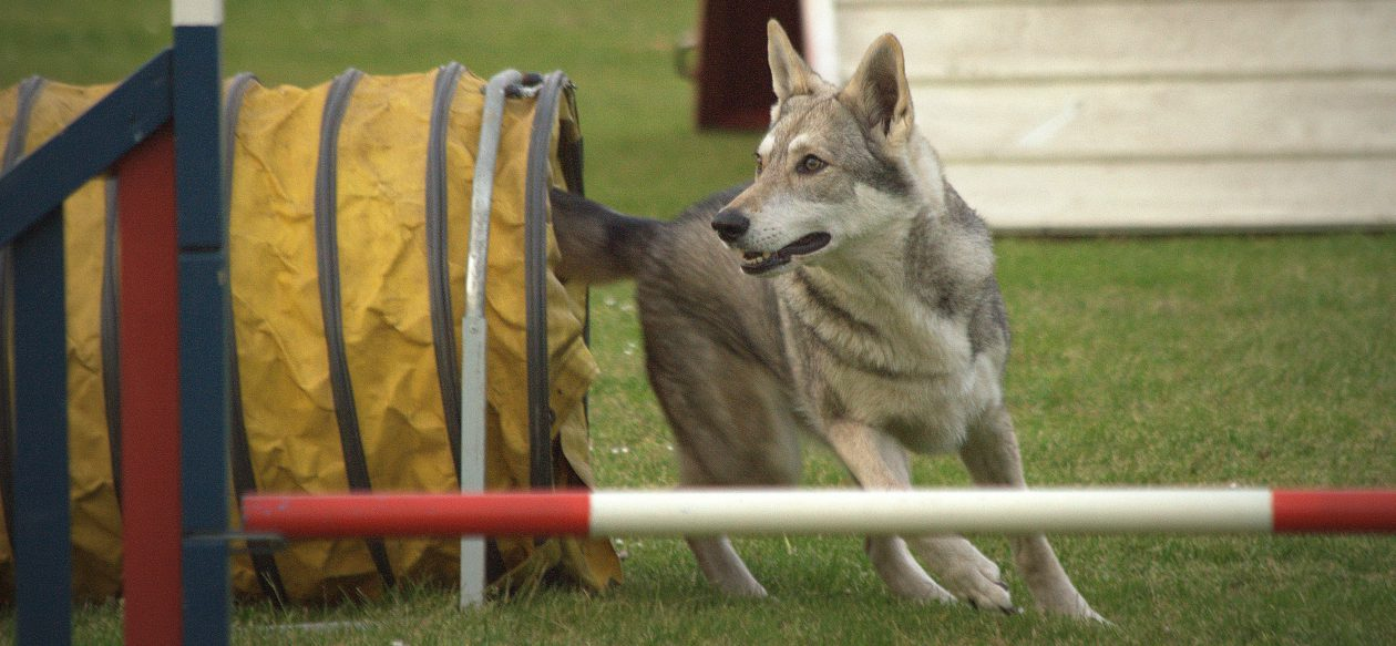 Abby, een SaarloosWolfhond